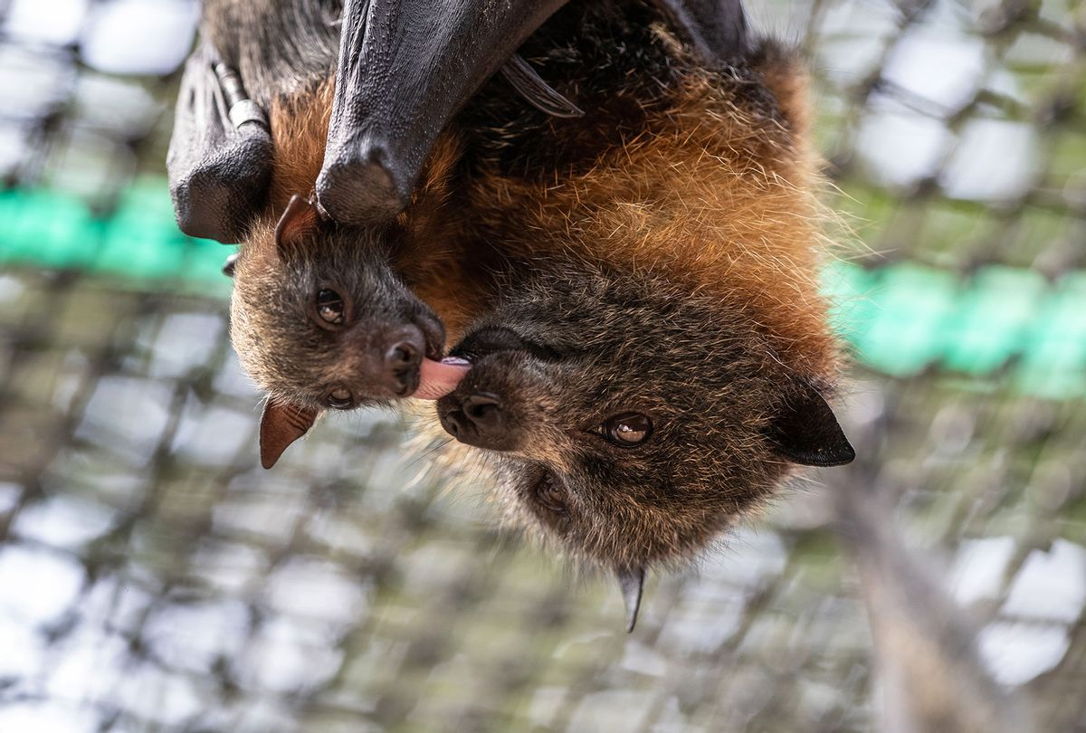A baby grey headed flying fox bat hangs with its mother on January 27, 2020 in Bomaderry, Australia. (John Moore/Getty Images)