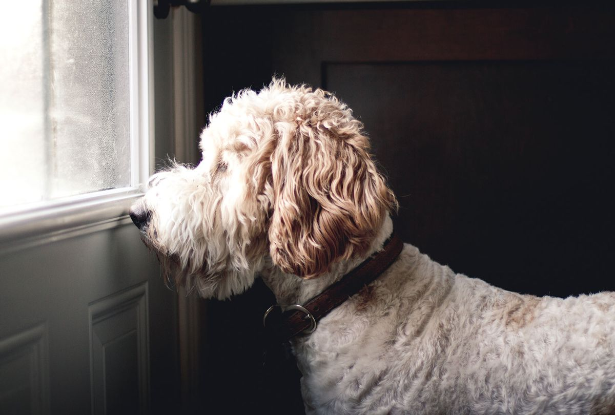 Golden doodle dog waiting in front of a closed door (Getty Images/Linda Raymond)