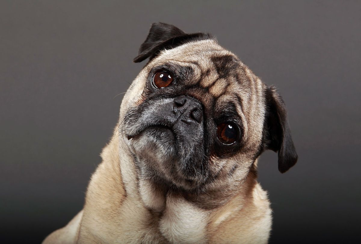 Pug (Getty Images/mlorenzphotography)