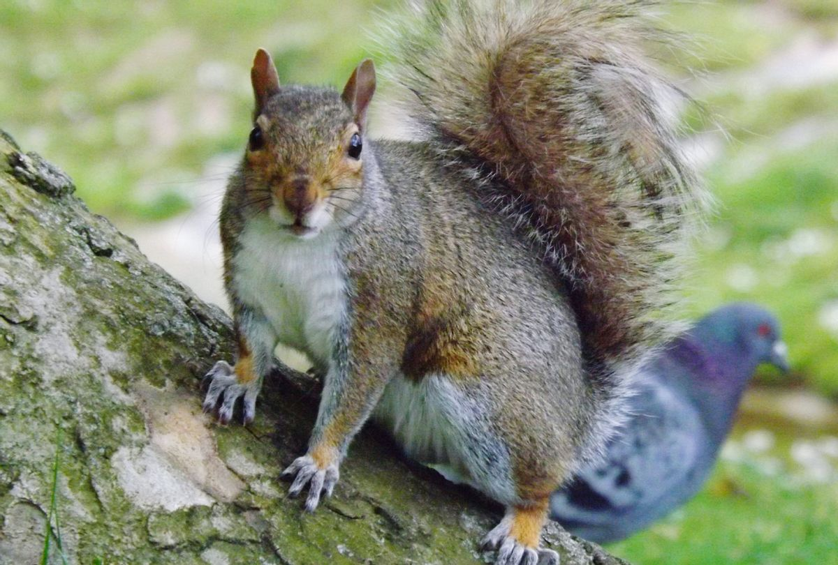 Squirrel close up with a pigeon in the background (Getty Images/Sara Lynch/EyeEm)
