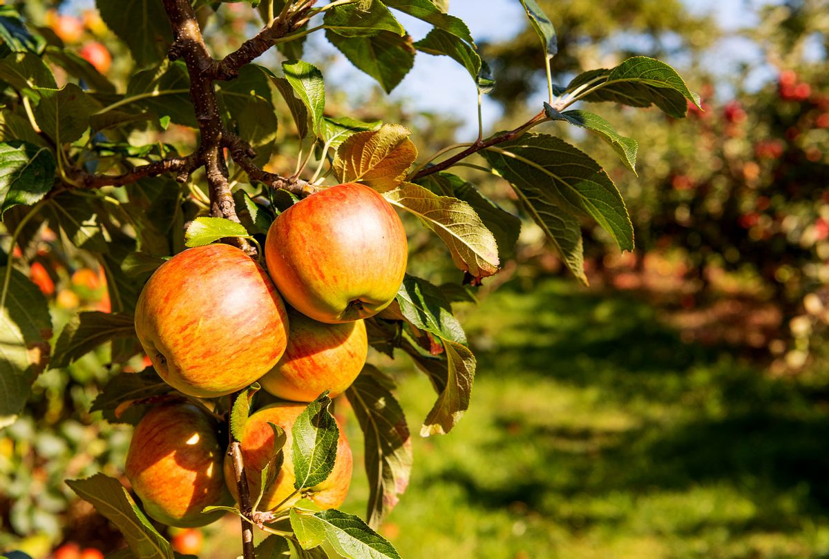 Apple ripe fruit on tree. (Getty Images/Mike Powles)