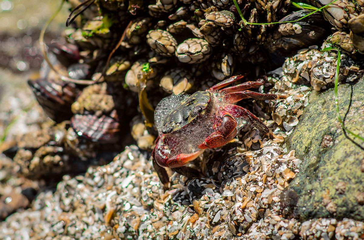Close-Up of crab on rock at beach, San Diego, United States (Getty)