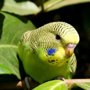 When finding a mate, intelligence matters to female parakeets