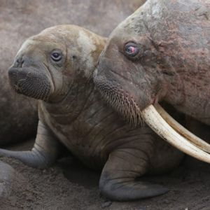 """Shedding light on the """"walrus scene"""" in Netflix's """"Our Planet"""""""