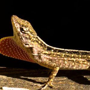 The first gene-edited lizard walks among us
