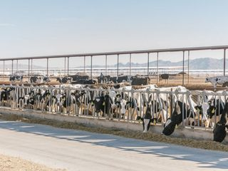 While small dairy farms shut down, this mega-dairy is shipping milk