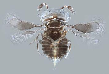 B0009829 Parasitoid wasp Wallaceaphytis kikiae, LM