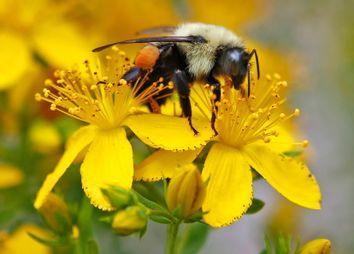Pollinator Decline