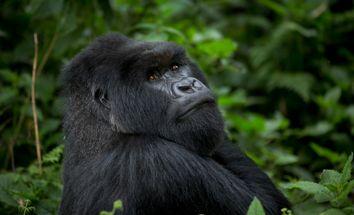 Rwanda Africa Gorillas and Humans