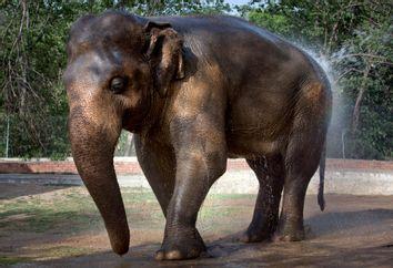 Pakistan Abused Elephant