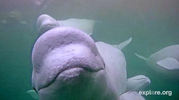 Beluga Whales Webcam
