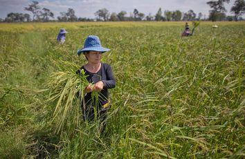 Thailand Politics of Rice