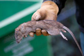 France Rats