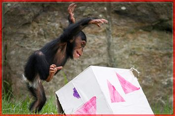 A 13-month-old chimp named Fumo leaps onto a 'Christmas present' box, which contained food treats, during a Christmas-themed feeding session at Sydney's Taronga Park Zoo