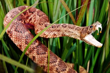 Snake in long grass with mouth open showing venom