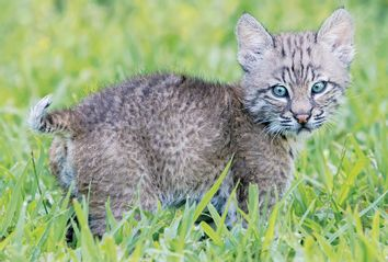 Trooper: The Bobcat Who Came in from the Wild by Forrest Bryant Johnson