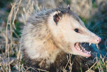 Ferce Opossum