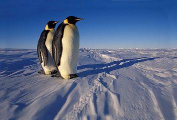 Two Emperor penguins (Aptenodytes forsteri) standing on fast