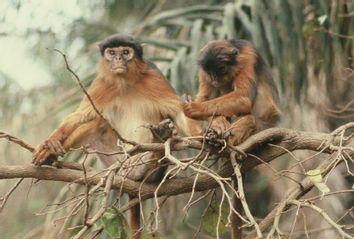 western red colubus monkeys grooming