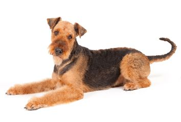 Airdale terrier