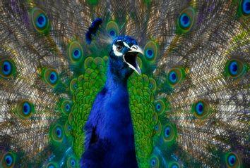 Angry Peacock