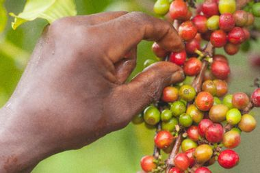 Coffee production threatened by climate change and deforestation