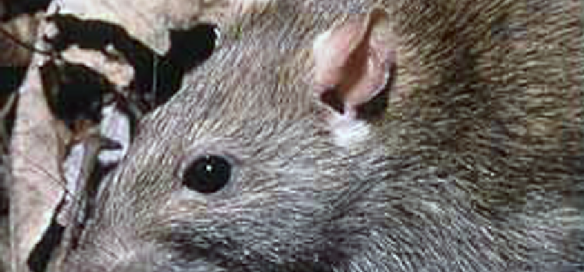 Did Hurricane Sandy give rise to mutant rats in NYC? | Salon.com