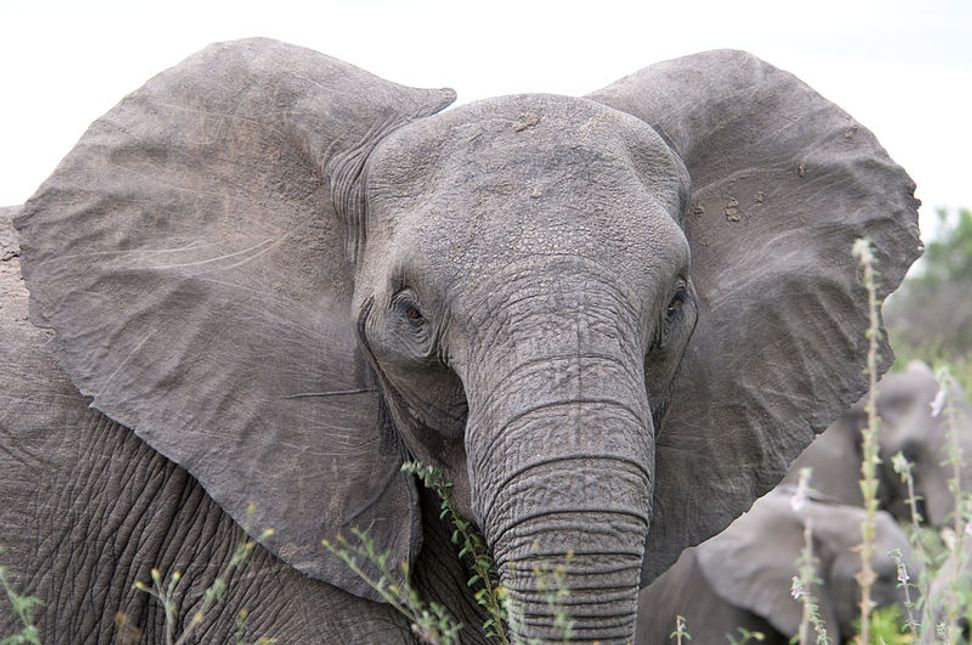 Science proves elephants are even smarter than we thought   Salon.com