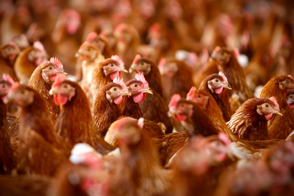 "New ""reform"" could leave chicken poop on your dinner plate"