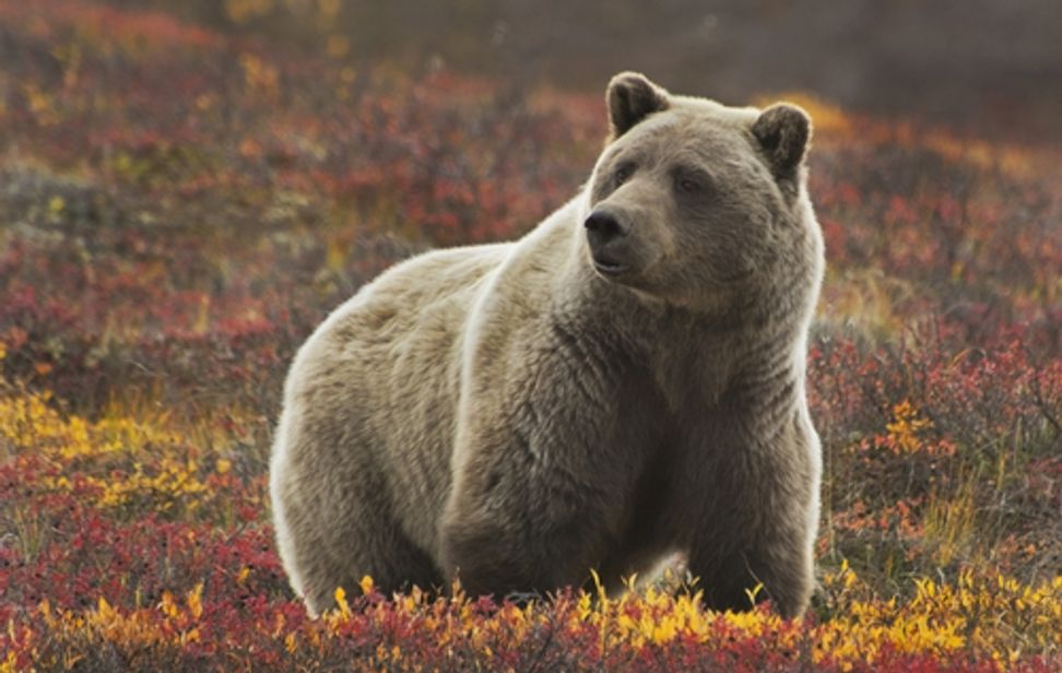 Yellowstone grizzlies could lose federal protection