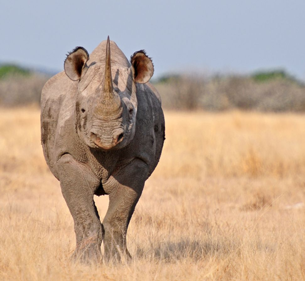 Someone just paid $350,000 to hunt and kill an endangered rhino