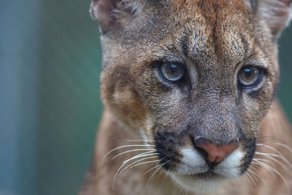 Catfight: How mountain lions are struggling to survive | Salon.com