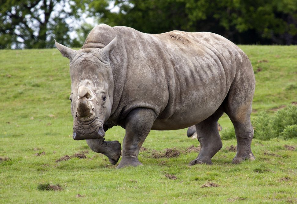 There are only six northern white rhinos left in the world