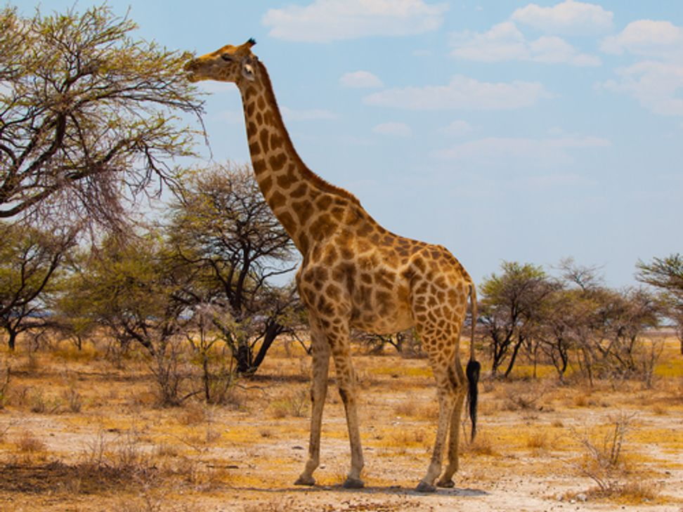 Giraffes may be headed for extinction | Salon.com