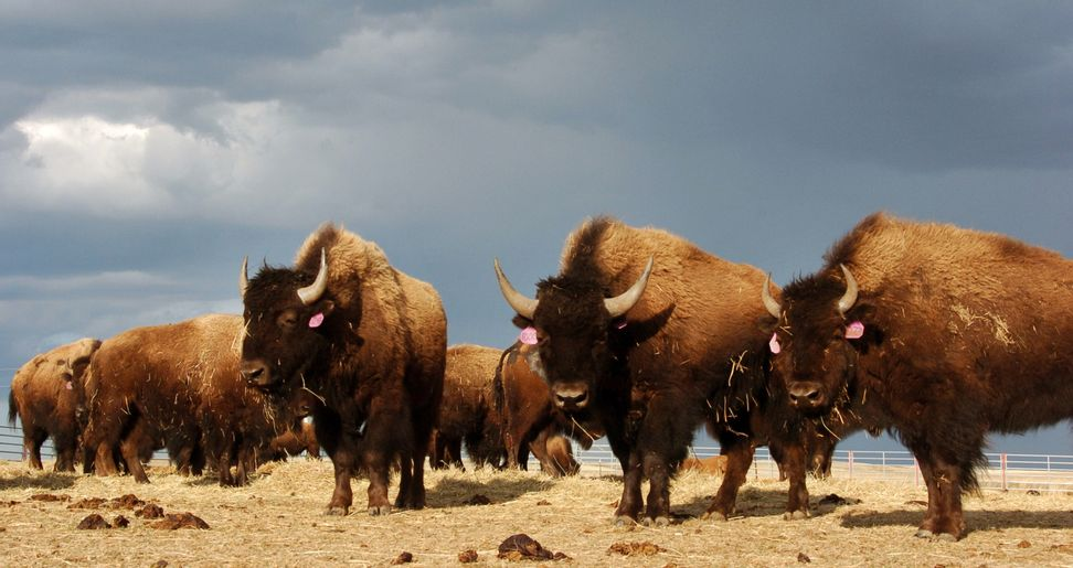 Bison are back, and that benefits many other species on the Great Plains