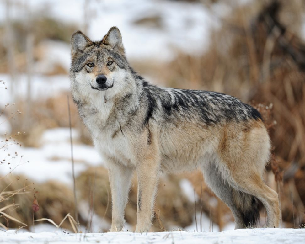 Mexican gray wolves may be saved after all