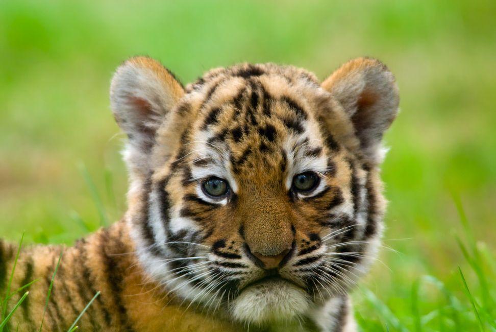 Tiger parents raise anxious cubs: The lifelong damage of harsh parenting