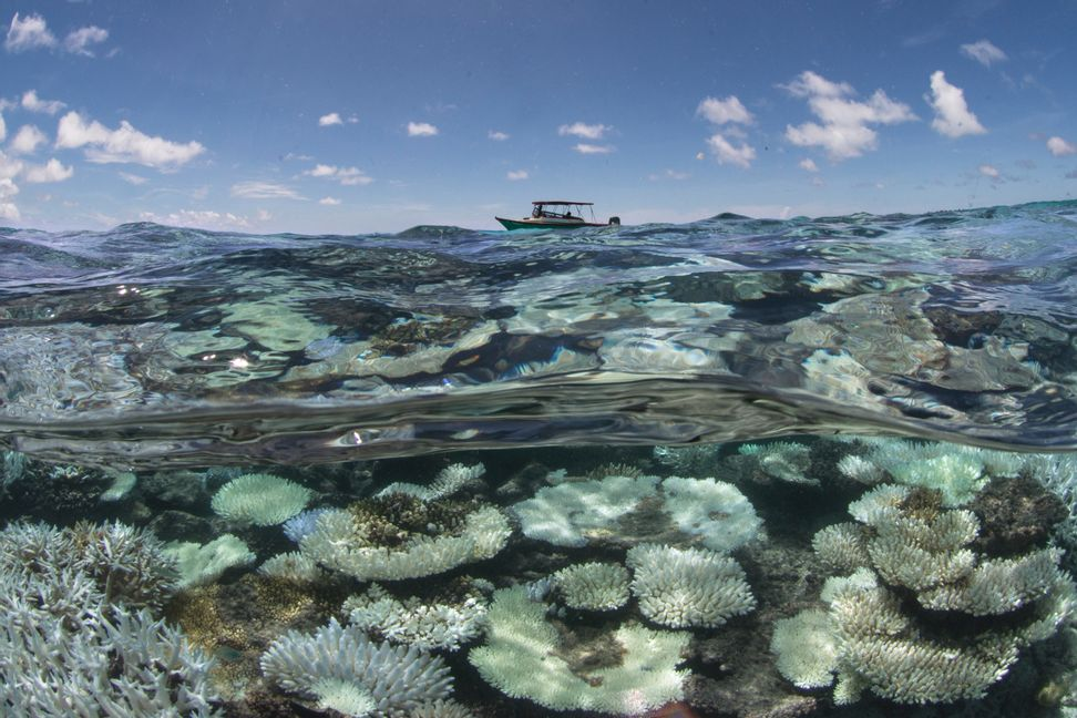 These corals love the warming oceans